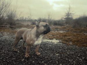Franse Bulldog Max
