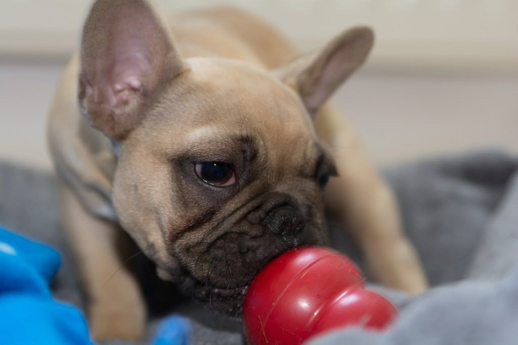 Kong hondenspeelgoed Franse Bulldog